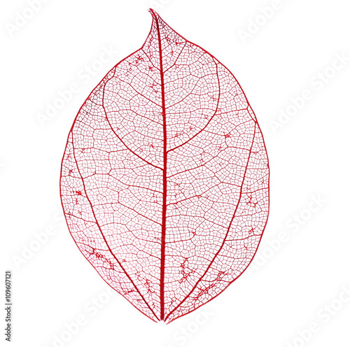 Autocollant pour porte Squelette décoratif de lame Skeleton leaf isolated on white