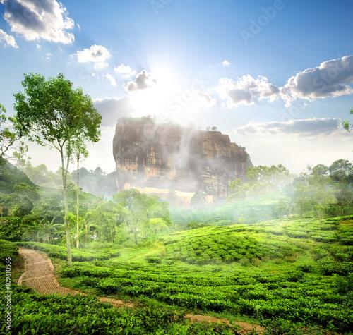 Poster Olive Sigiriya and tea field