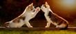 canvas print picture - zwei junge Katzen spielen auf einem Holzbrett im Gegenlicht