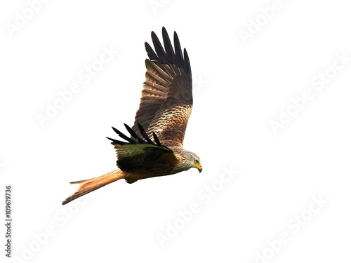 Photo  Red kite (Milvus milvus)