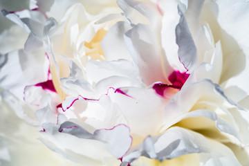 Obraz White Peony Flower