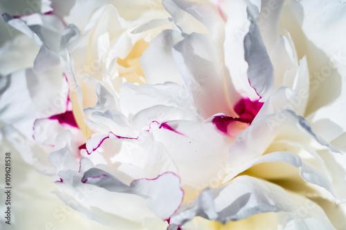 White Peony Flower - 109628538