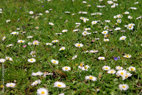 Photo Stands Daisies Madeliefjes in het gras