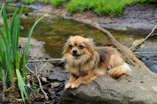 Recess Fitting Dog Chihuahua op steen in water