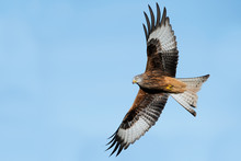 Red Kite (Milvus Milvus)/Red K...