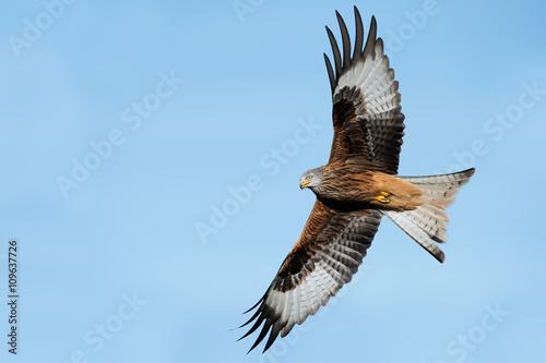 Photo  Red Kite (Milvus Milvus)/Red Kite flying through clear blue sky