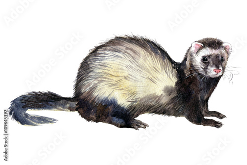 Fényképezés  Ferrets watercolor drawing on white background.