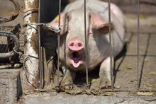 Picture Of Piglet Asleep Yawning Behind Metal Cage Tied With Wir