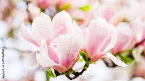 Foto op Plexiglas Magnolia magnolia soulangeana blossoming, spring time
