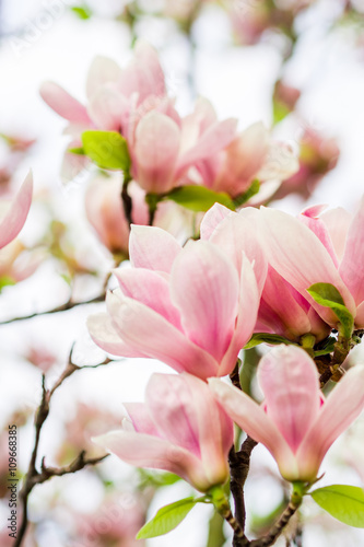 Foto op Canvas Azalea magnolia soulangeana blossoming, spring time