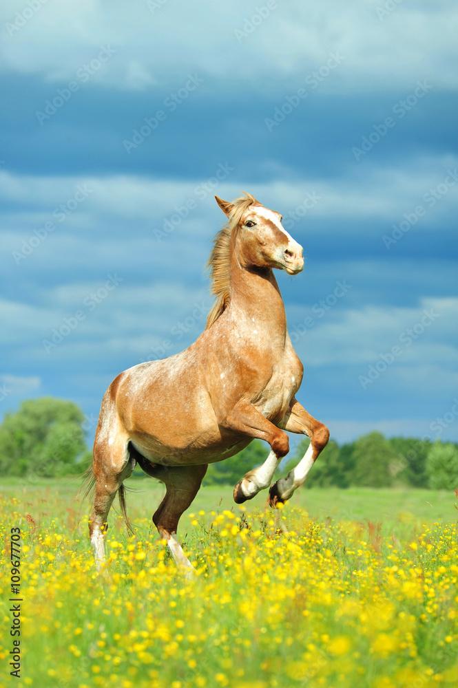 Fototapeta koń stający dęba, horse