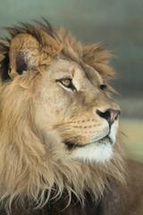 Panel Szklany Pantera Lion (Panthera leo).