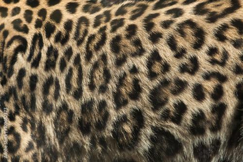 Canvas Prints Leopard Persian leopard (Panthera pardus saxicolor). Fur texture.