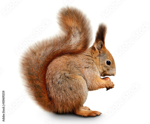 Fotografía Eurasian red squirrel in front of a white background