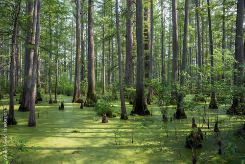Fotografie, Obraz  Cache River State Natural Area, Illinois, USA