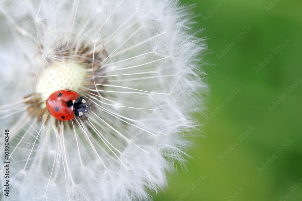 Fototapety, obrazy: Ladybug and dandelion