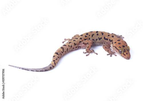 Fotomural Gecko lizard isolated on white background
