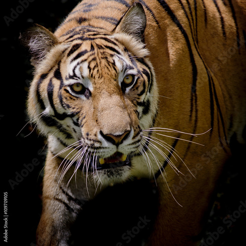 Fotomurales - Beautiful tiger walking step by step isolated on black backgroun