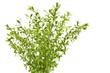 Młode wiosenne gałązki ligustru z liśćmi na białym tle.