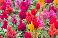 Colorful Fresh Celosia Flower