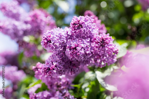 Spoed Foto op Canvas Lilac beautiful lilac flowers in nature