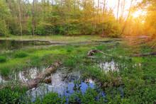 Bog In Green Forest