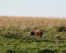 A Bison Cow Stands Calmly In A Field Nursing Her Baby Calf