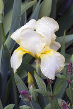 Wet Creamy White Bearded Iris