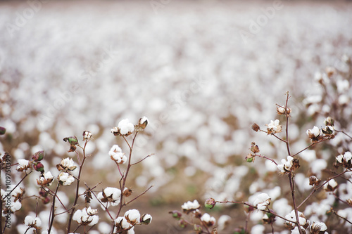 Cotton fields ready for harvesting in Oakey, Queensland