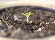 basil, new plant, born