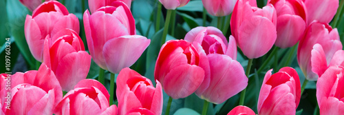 Vibrant colorful panoramic holiday or birthday background with beautiful closeup pink tulips flowerbed  - 109760324