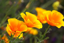 California Poppy Is A Herbaceous Plant