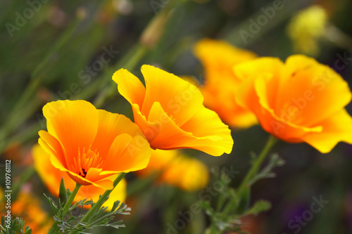 California poppy is a herbaceous plant - 109761112