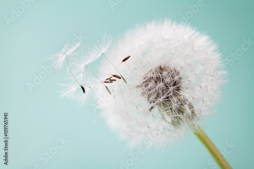 Staande foto Paardebloem Beautiful dandelion flowers with flying feathers on turquoise background, vintage card, macro