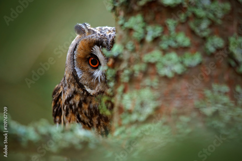 Hidden portrait Long-eared Owl with big orange eyes behind larch tree trunk, wild animal in the nature habitat, Sweden