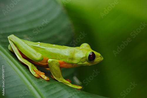 fototapeta na szkło Flying Leaf Frog, Agalychnis spurrelli, green frog sitting on the leaves, tree frog in the nature habitat, Corcovado, Costa Rica