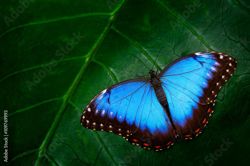 Poster Vlinder Blue Morpho, Morpho peleides, big butterfly sitting on green leaves, beautiful insect in the nature habitat, wildlife, Amazon, Peru, South America