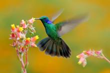 Hummingbird Green Violet-ear, Colibri Thalassinus, Bird Fling Next To Beautiful Ping Orange Yellow Flower In Natural Habitat, Bird From Mountain Tropical Forest, Savegre, Costa Rica