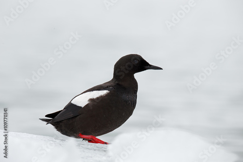 Black Guillemot, Cepphus grylle, black water bird with red legs, sitting on the ice with snow, animal in the nature habitat, winter scene, Svalbard, Norway