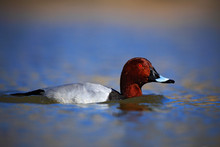 Common Pochard, Aythya Ferina, Bird In The Water