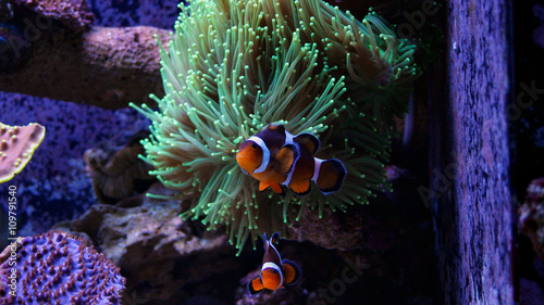 Poster Sous-marin Clownfish Nemo in Marine reef aquarium