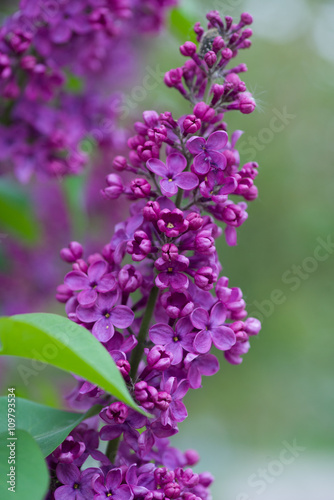 Fotobehang Lilac lilac flowers on a green background