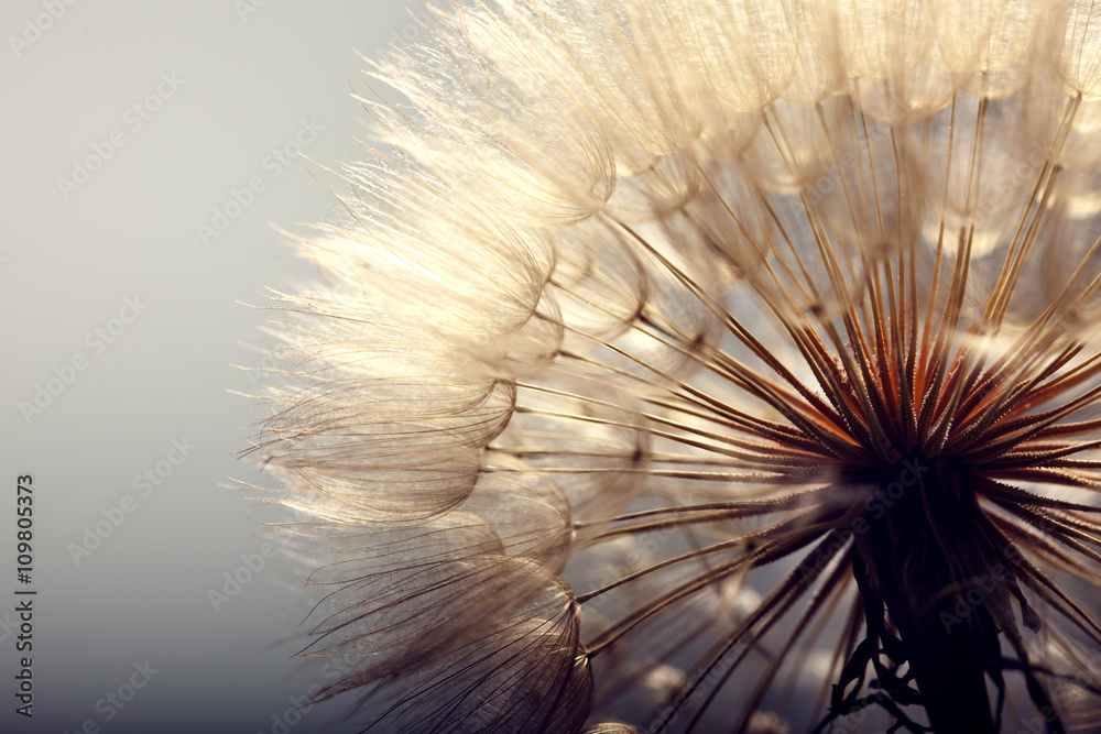 Fototapety, obrazy: big dandelion on a blue background