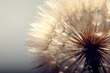 Fototapeta Puff-ball - big dandelion on a blue background