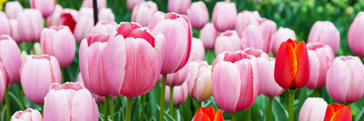 Panel Szklany Panorama Vibrant colorful panoramic holiday or birthday background with beautiful closeup pink tulips flowerbed
