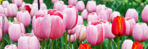 Vibrant colorful panoramic holiday or birthday background with beautiful closeup pink tulips flowerbed  - 109822300
