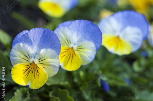 Acrylic Prints Pansies Clue and yellow pansies.