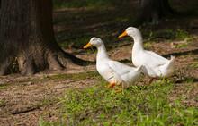 Ducks Together Walking