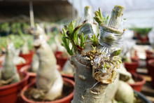 Stem Grafting Of Adenium Tree