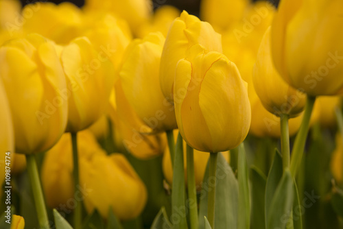 Beautiful giant Tulips in the garden, Selective Focus - 109874774